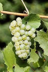 023 – La Chardonnay es una uva que se utiliza para producir....  (A) = Jerez     (B) = Champagne  (C) = Oporto