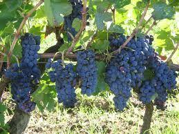 05 - AGLIANICO. Uva tinta originaria del sur de Italia, donde se produce con ella el muy conocido Taurasi, vino considerado como muy poderoso. Uva menor responsable de parte de la mejora de los vinos tintos del sur de Italia. Es descendiente de la antigua Falernum. También proporciona vinos rosados de tonalidades bronceadas.