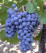 04 - AGIORGITIKO. Uva, También conocida como St. George. Uva de vino tinto nativa de Grecia. Usada para realizar buenos vinos rosados.