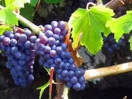 026 – La Pinot es una uva muy fina procedente de...  (A) = Francia  (B) = Italia  (C) = España
