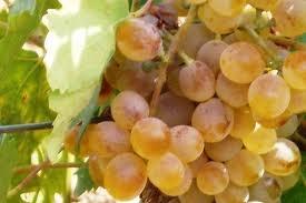 025 – La Nasco es una uva blanca procedente de  (A) = Sicilia  (B) = Cerdeña  (C) = Creta